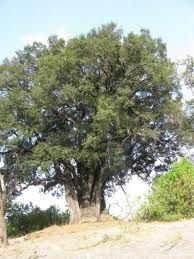 African Ebony Tree
